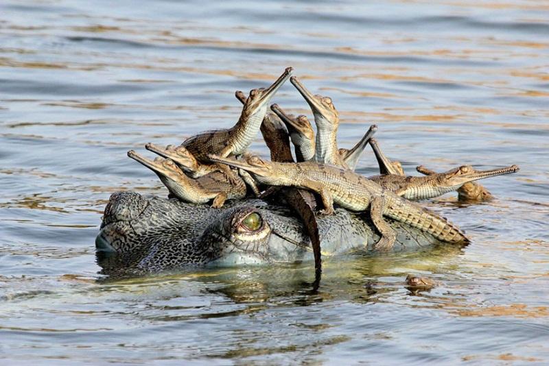 familia-cocodrilos