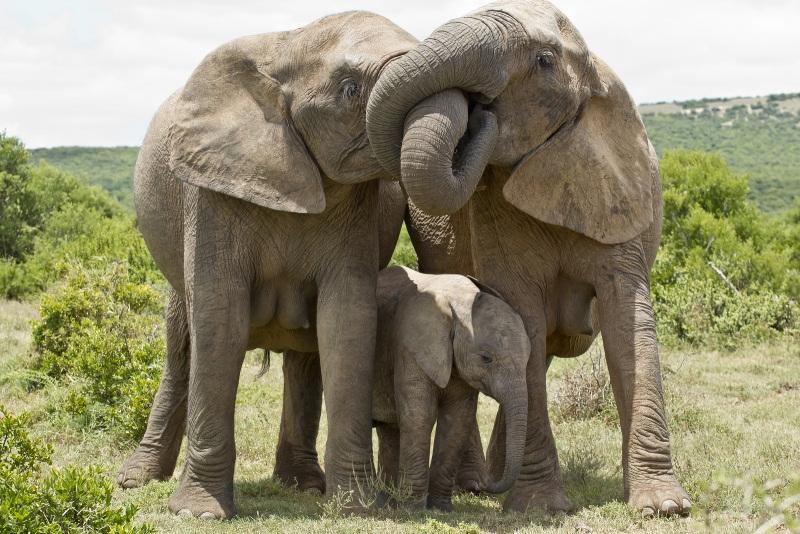 familia-elefantes