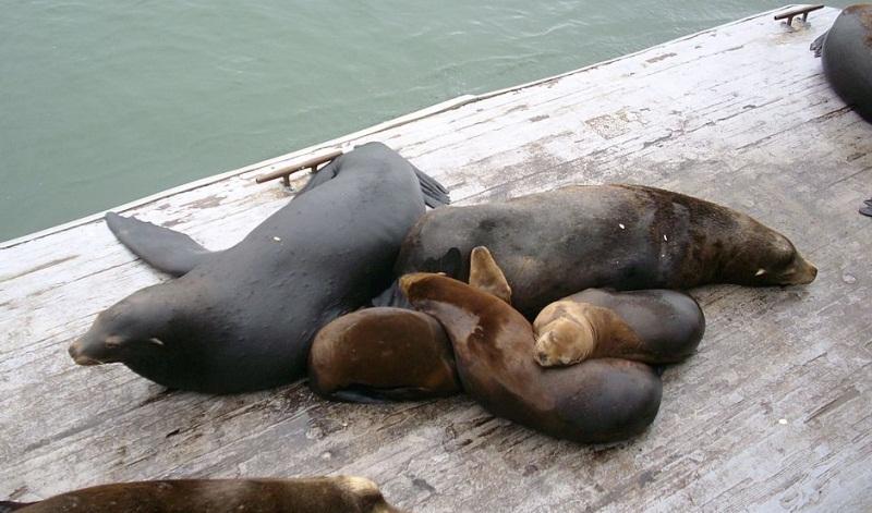 familia-focas