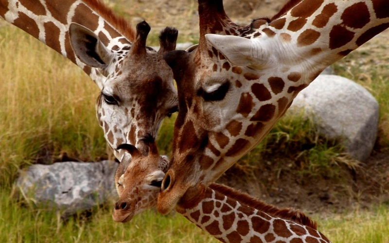 Giraffe, Parental Love.