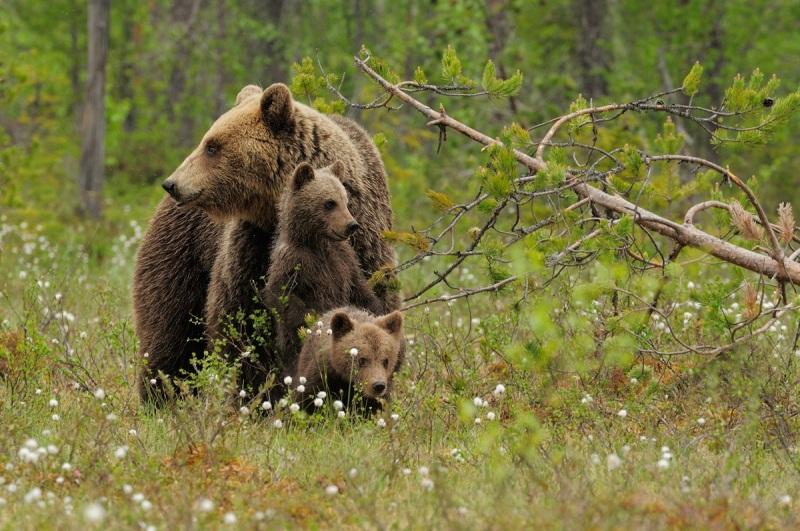 familia-osos2