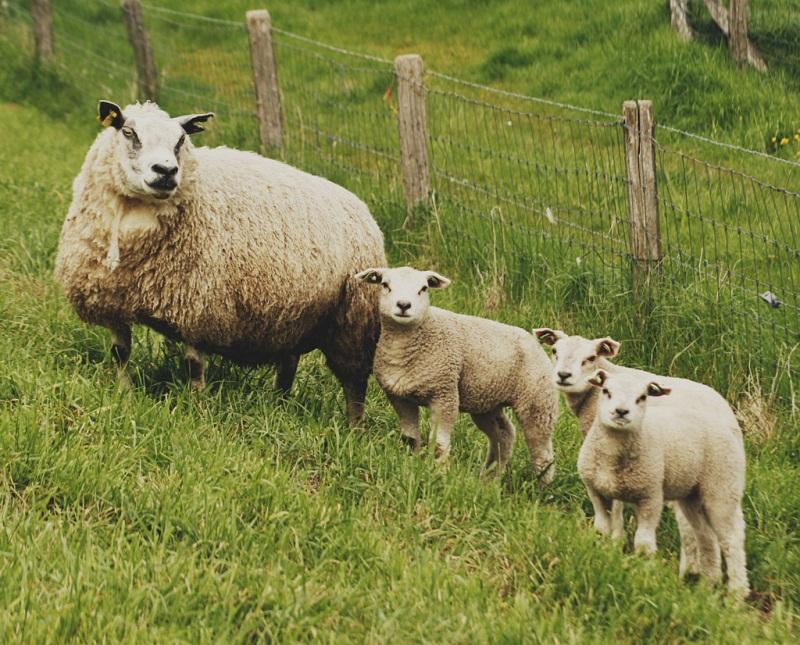 familia-ovejas