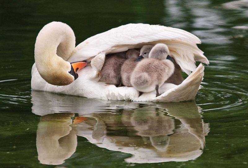familia-patos