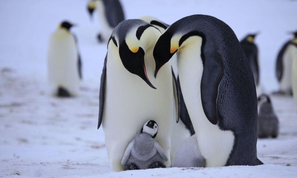 familia-pinguinos