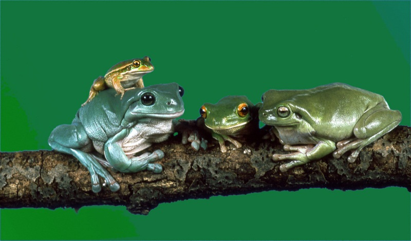 familia-ranas
