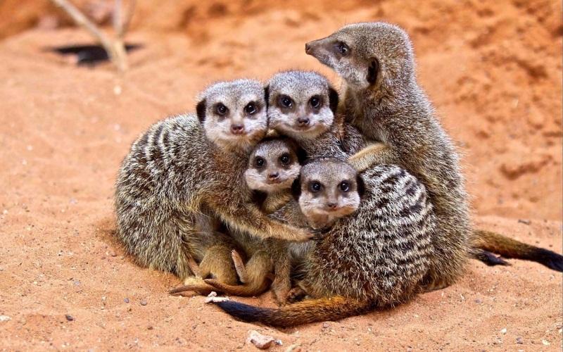 familia-suricatas